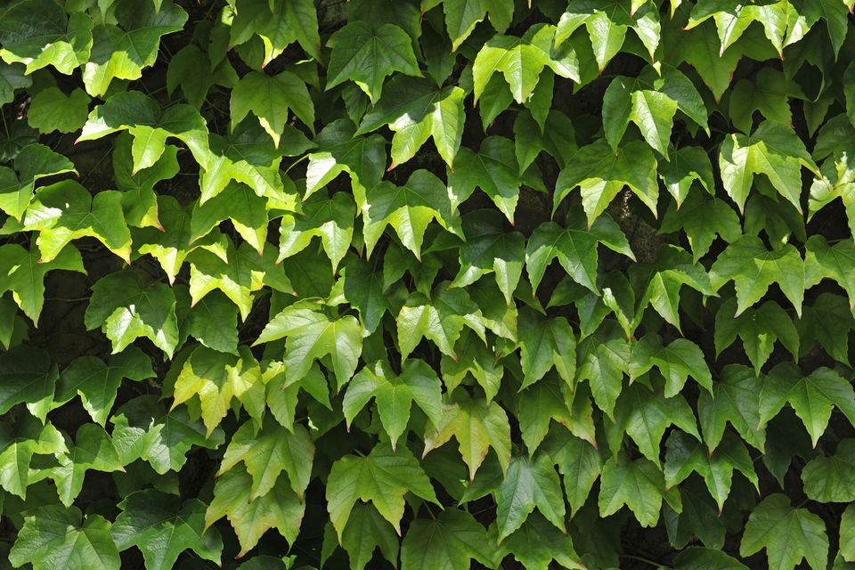 Boston Ivy