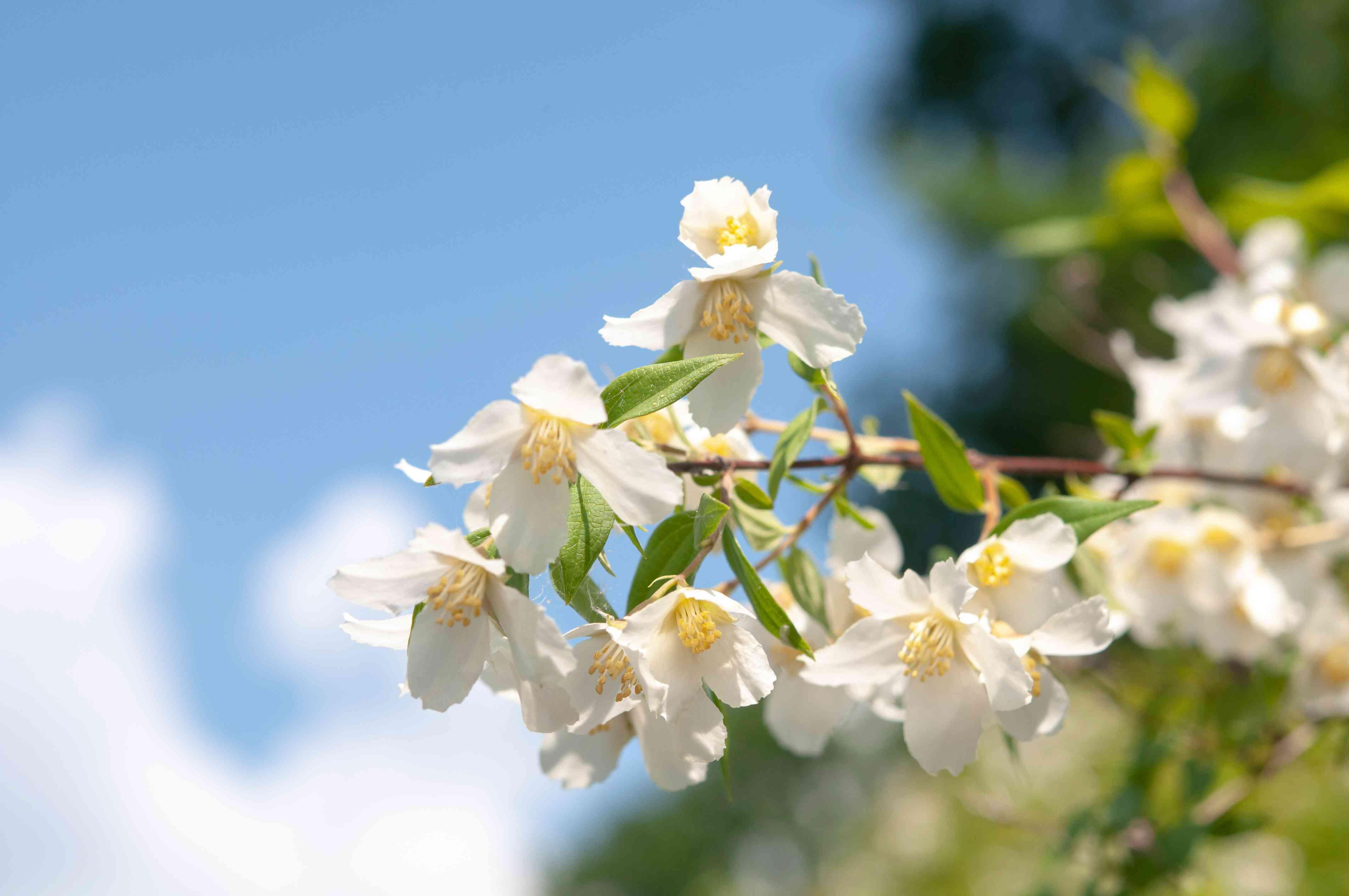 Mock orange shrub with white flowers in sunlight