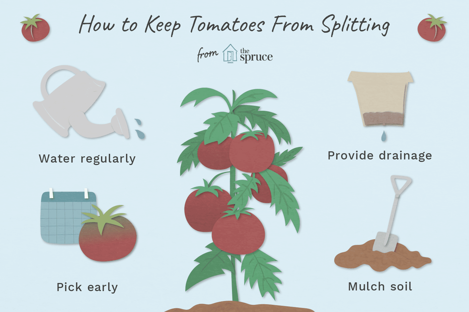 Why Tomatoes Split and Ways to Prevent It