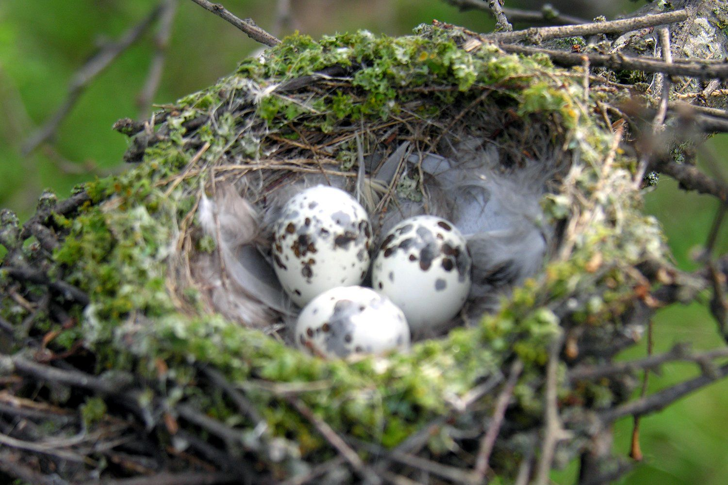 photos of wild bird nests and eggs. Black Bedroom Furniture Sets. Home Design Ideas