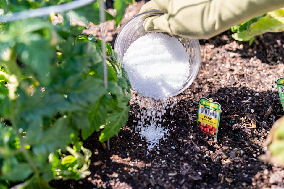 Epsolm salt poured next to tomato plant