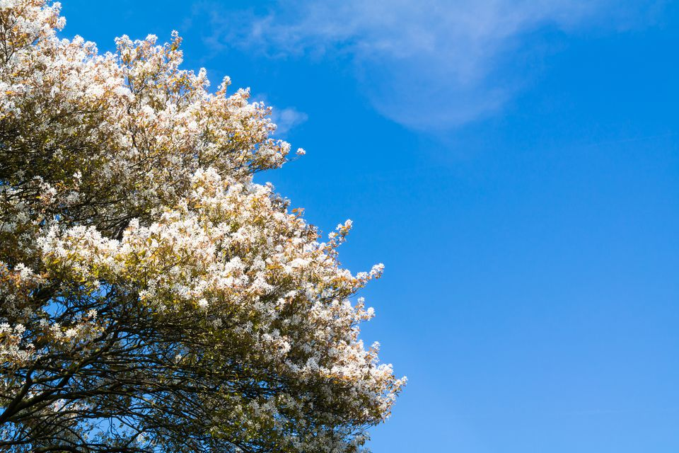 Meet 9 species of serviceberry trees and shrubs altavistaventures Gallery