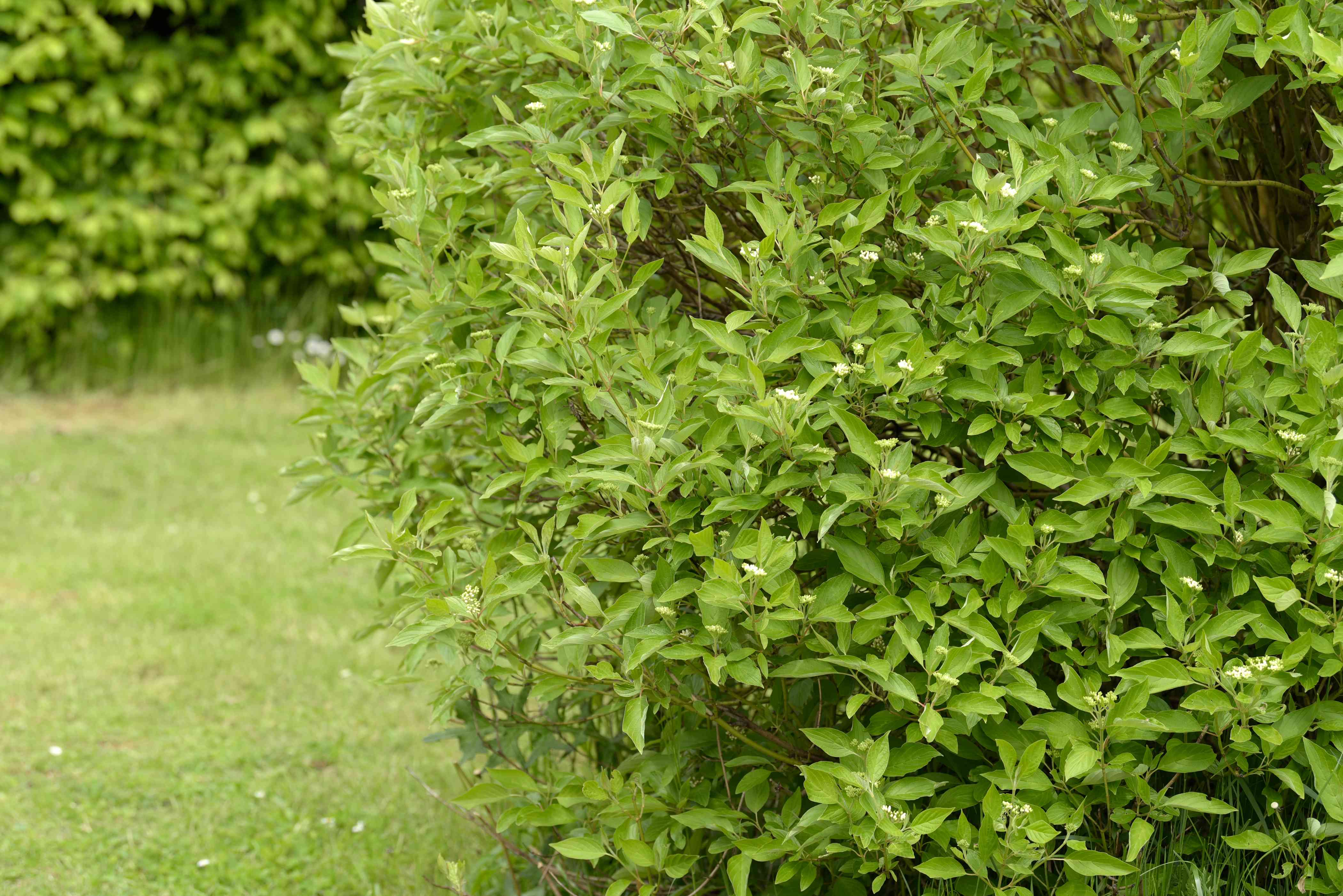 Yellow-twig dogwood shrub with green leaves and small white flowers