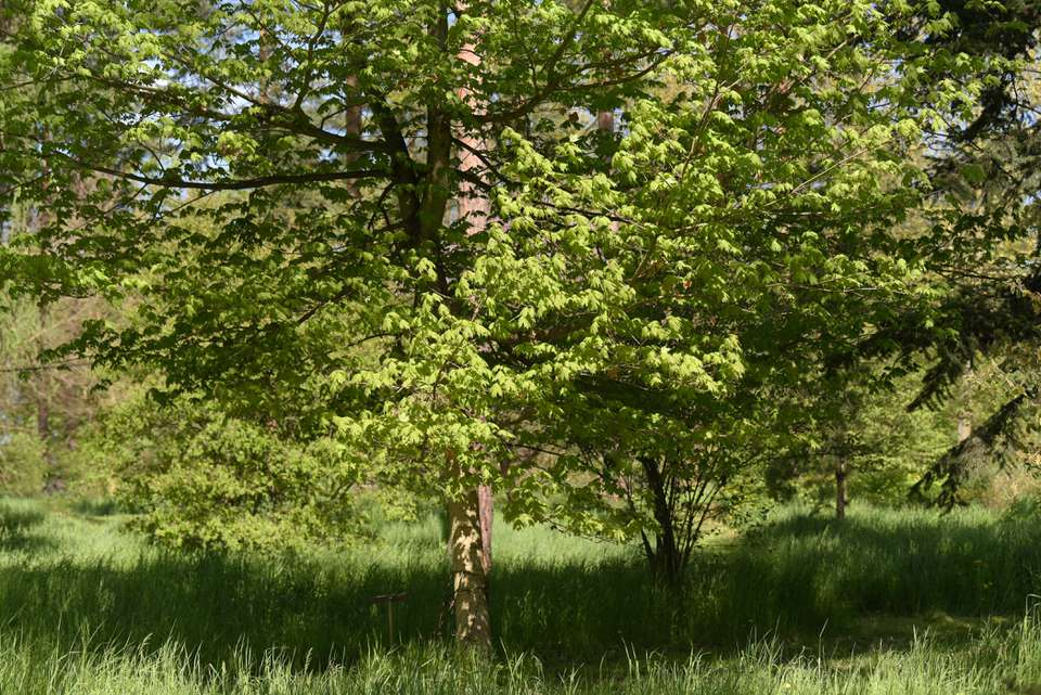 Sugar maple tree surrounded by long grass and sunlight
