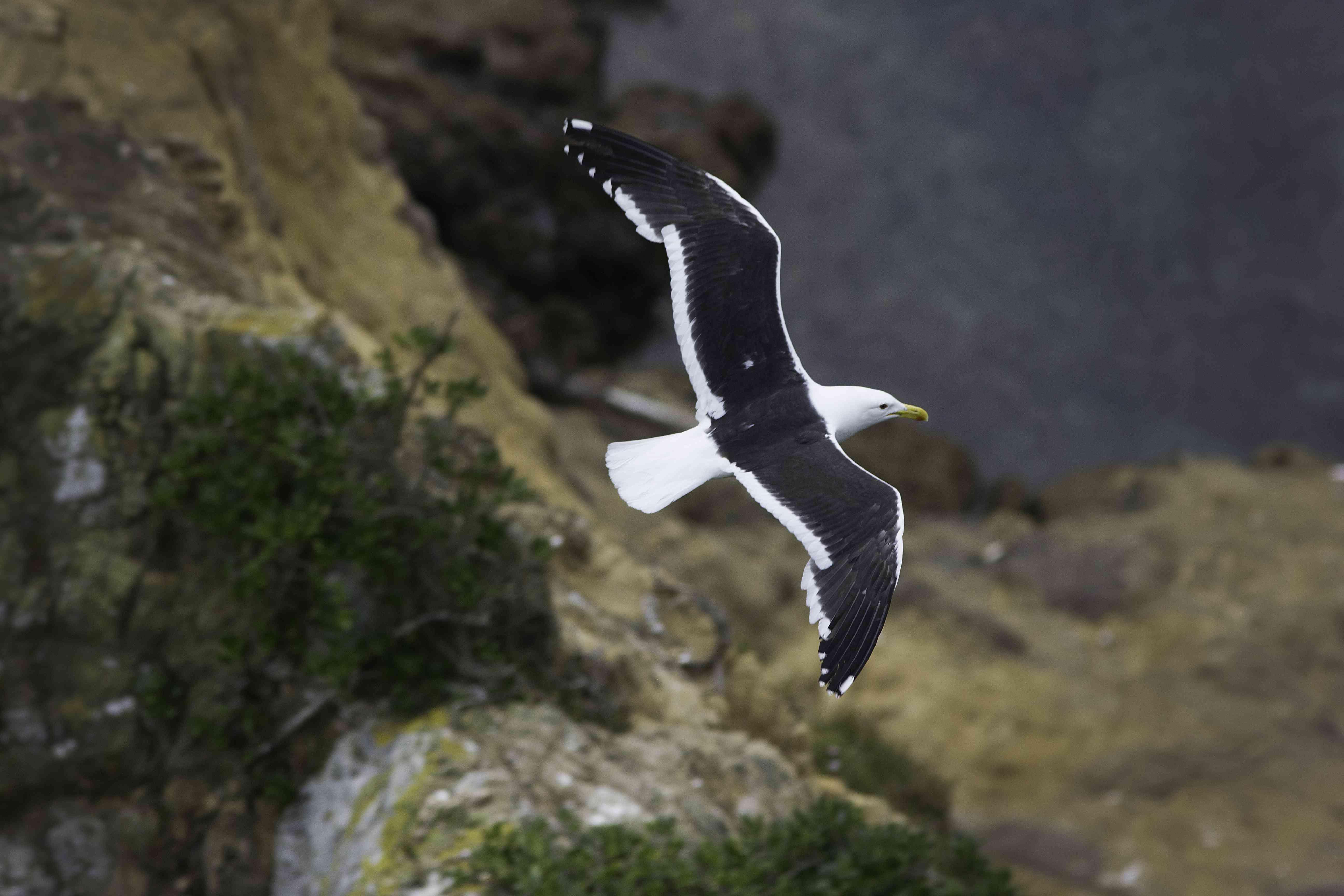 Black-backedgull(Larusmarinus)flying over cliff, Petone, NewZealand