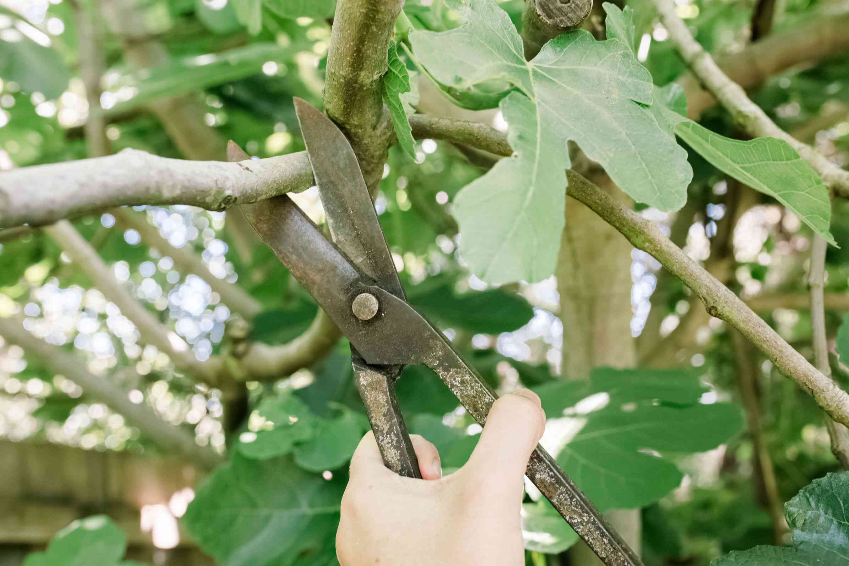 pruning fruit trees