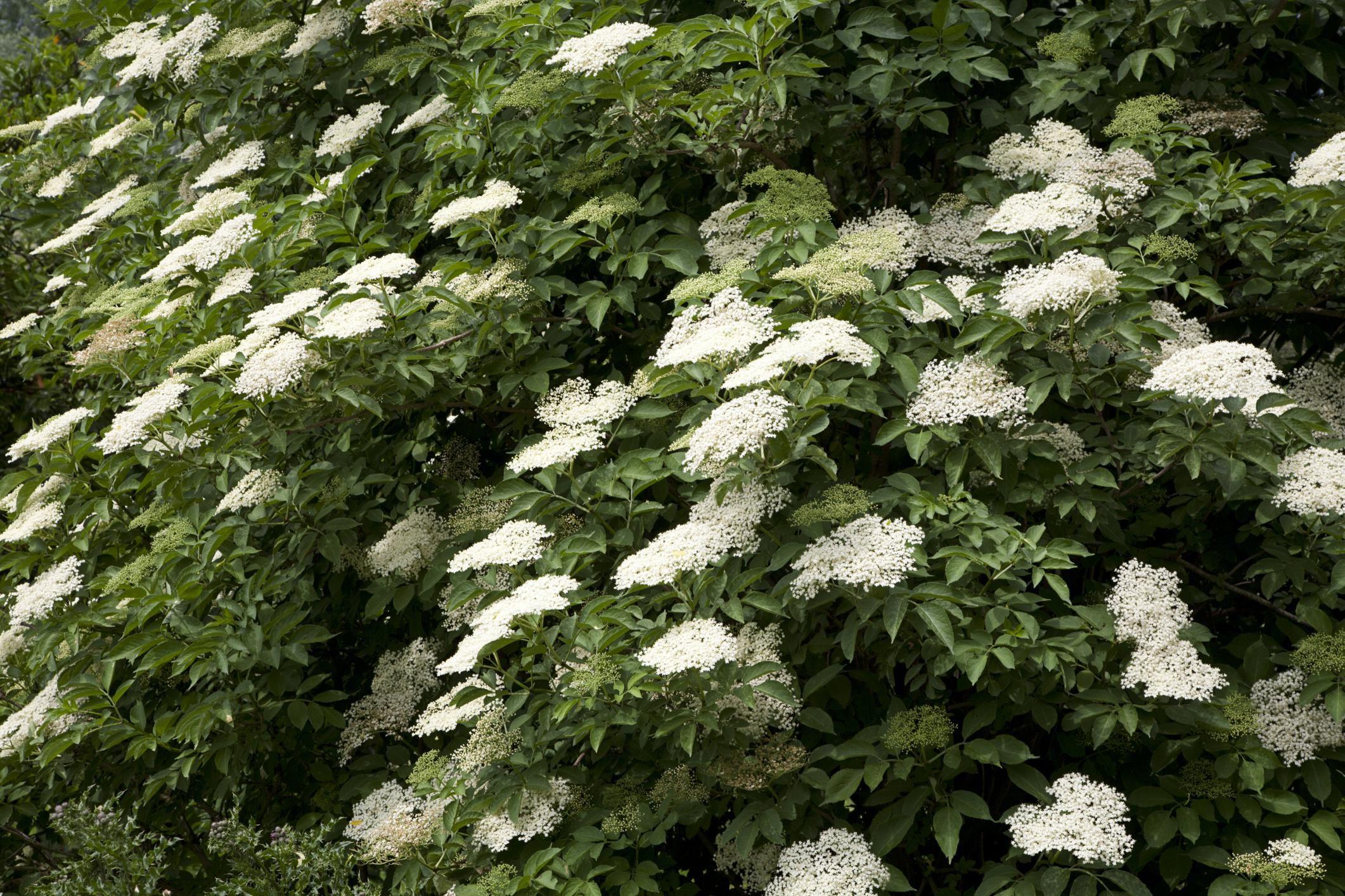 How To Grow The Common Elderberry Shrub
