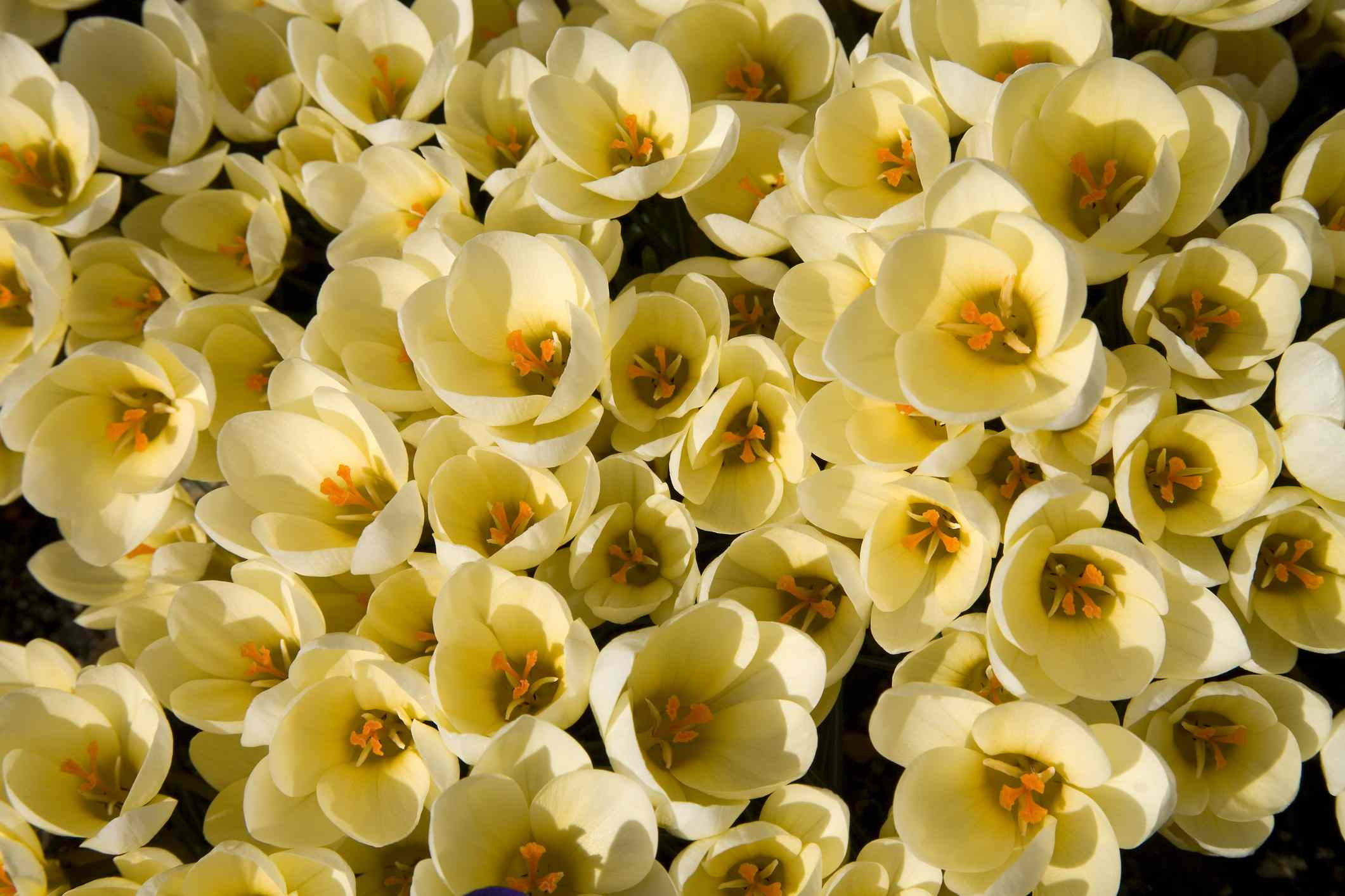 'Cream Beauty' crocus with pale yellow flowers