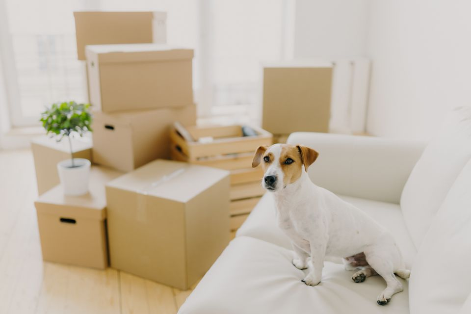 Horizontal shot of jack russel terrier poses on white confortable sofa, lives in new apartment, stack of cardboard parcels in background. Pedigree dog in new bought dwelling. Relocation concept
