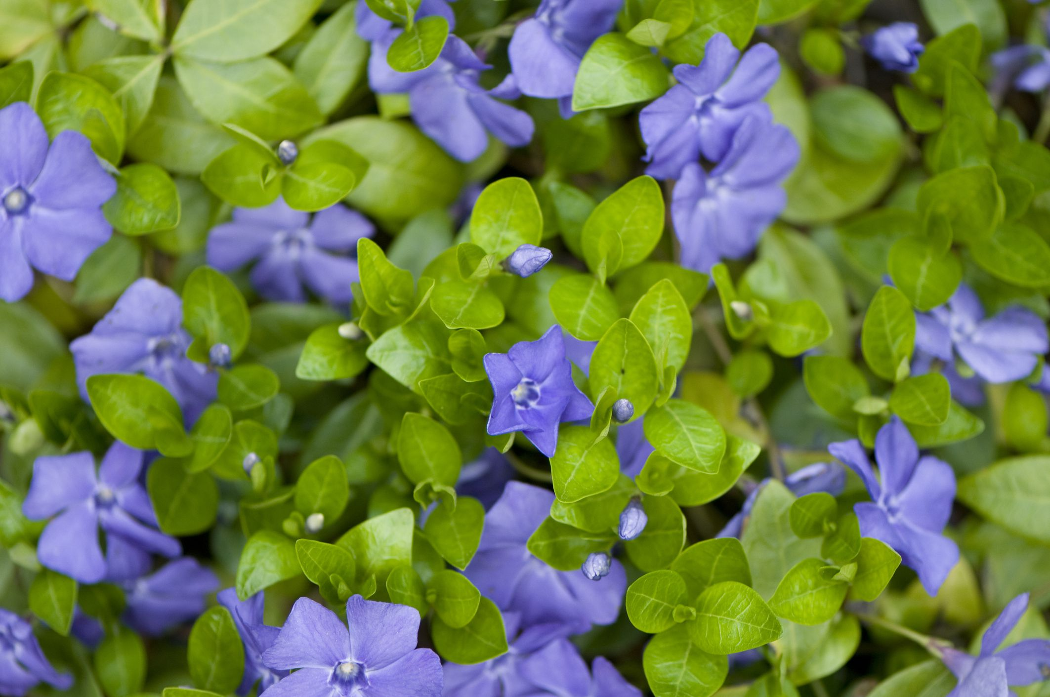 Best Evergreen Flowering Plants