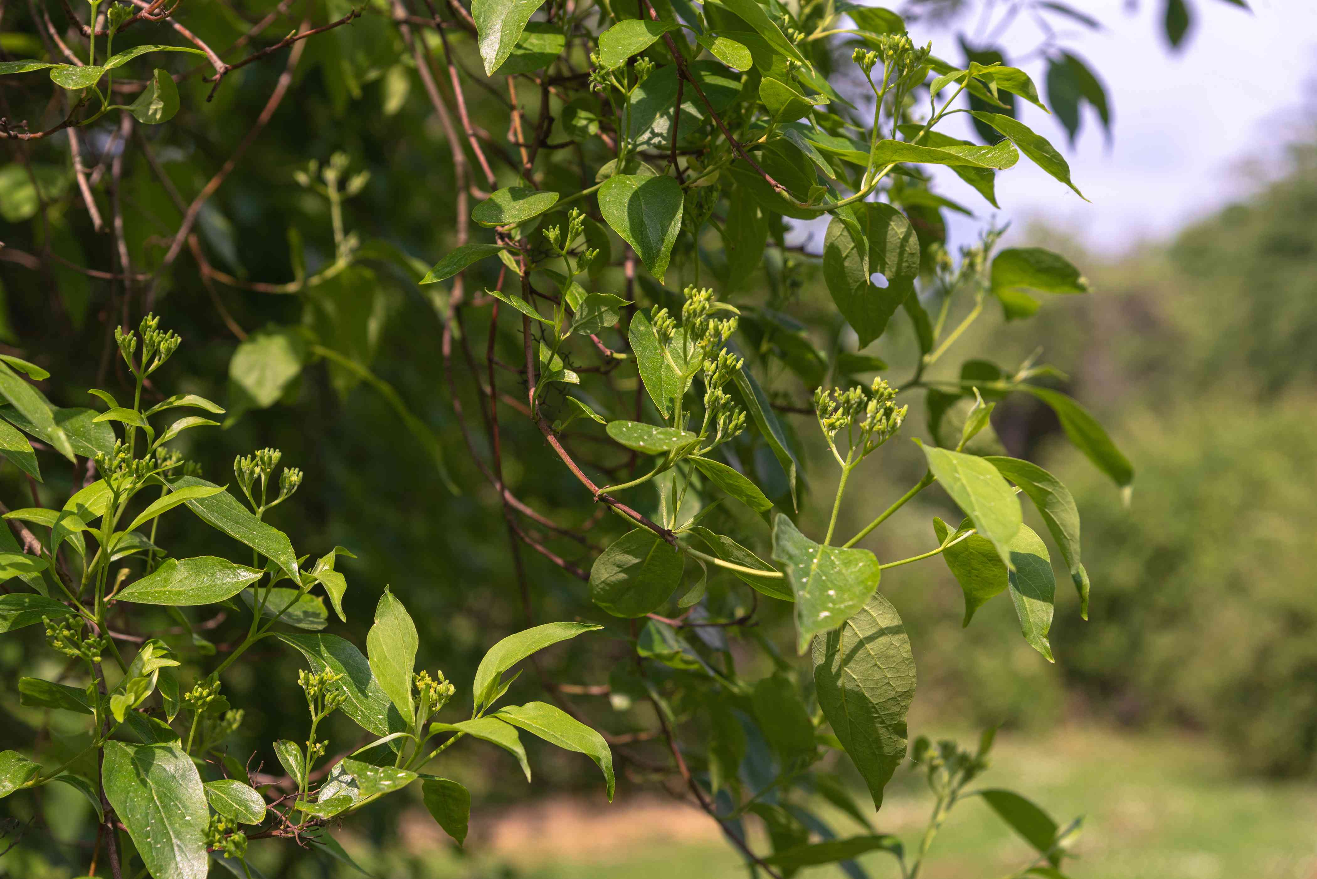 Gray dogwood native shrub with multi-stemmed branches with flower buds in sunlight