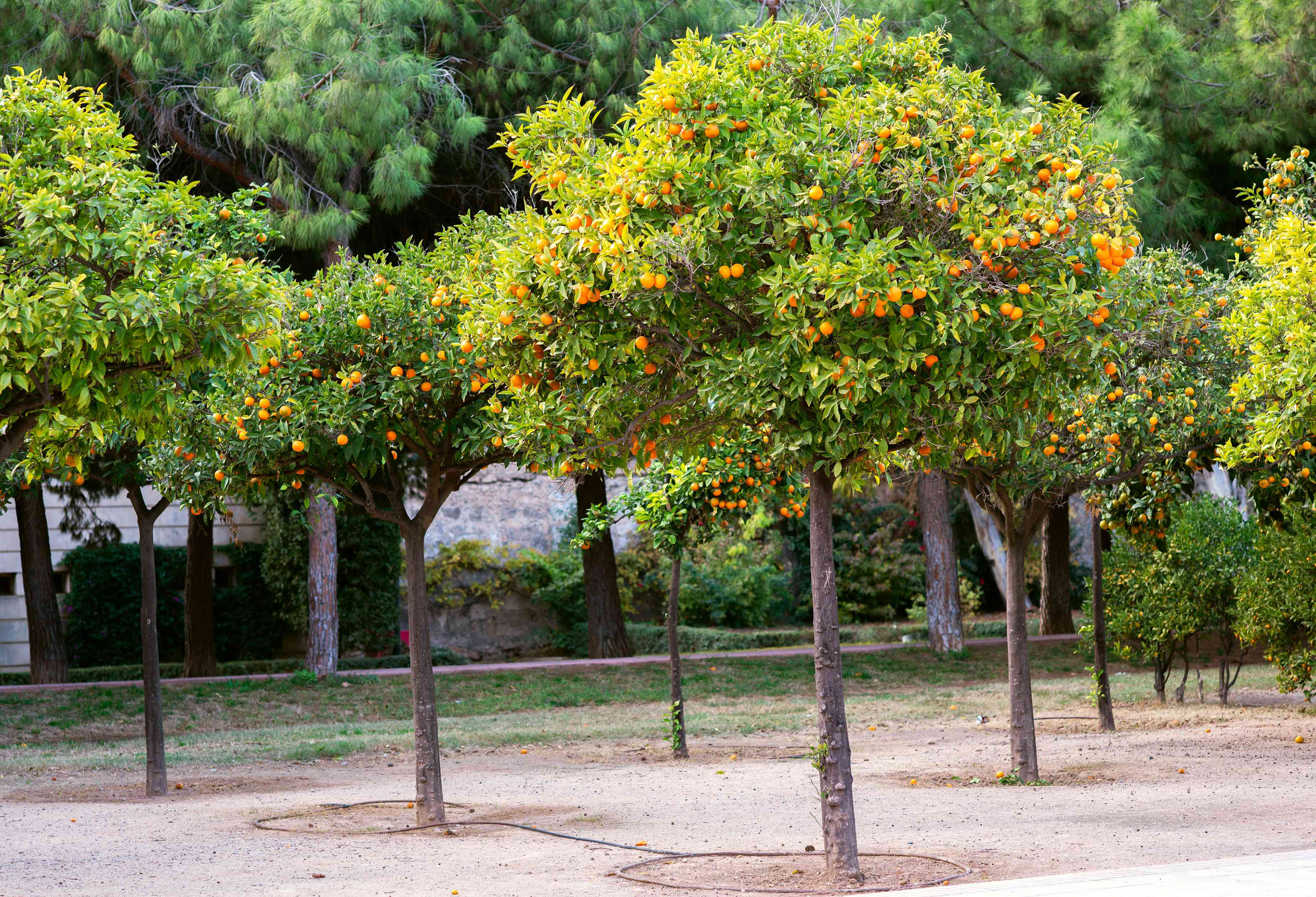Satsuma trees in rows with round orange fruit hanging from branches