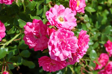 Growing rose bushes is easier than you think pink roses provide nice color mightylinksfo
