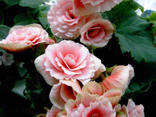 Begonia planta de interior con flores