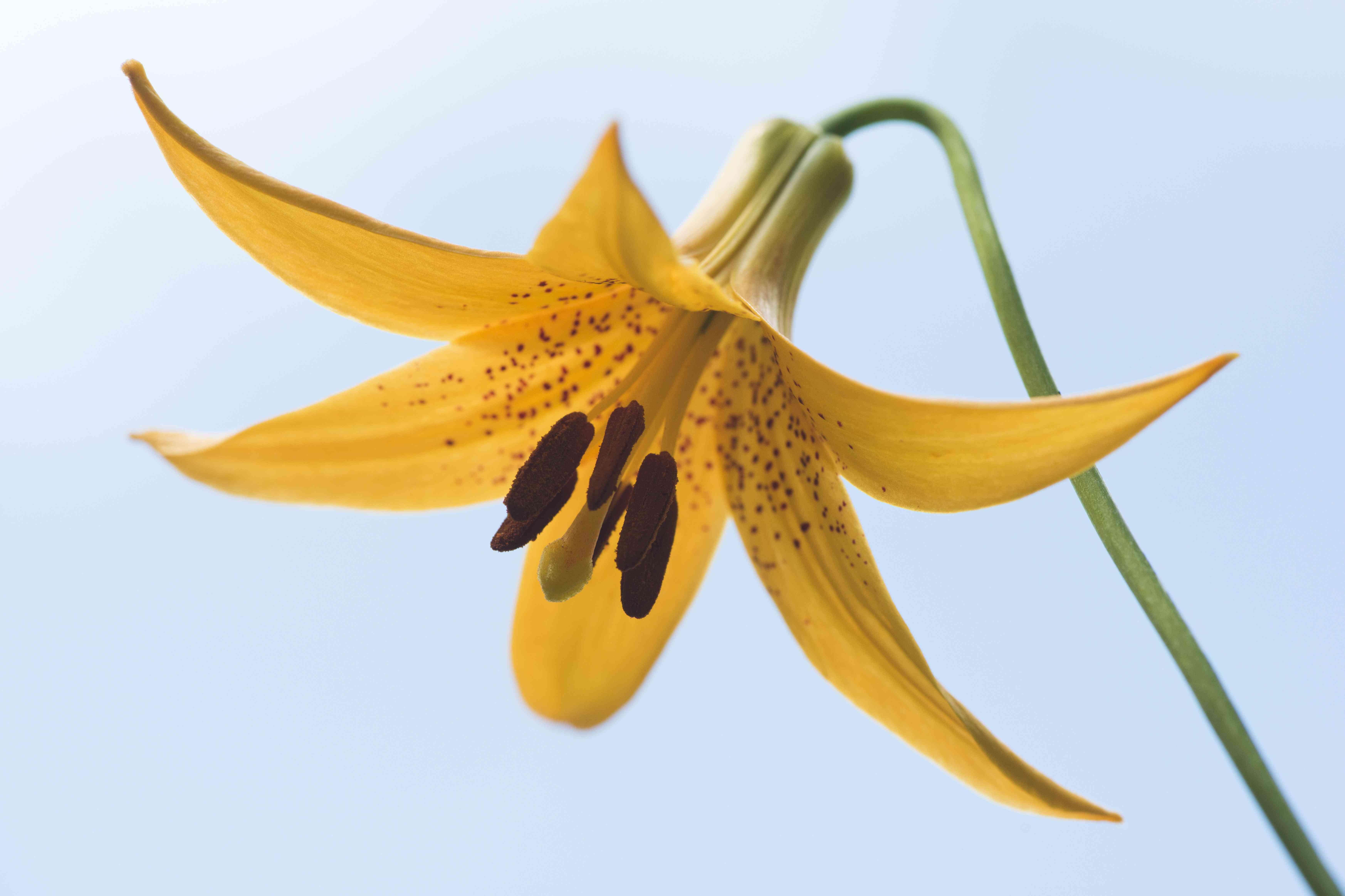 Wild yellow lily (Lilium canadense), Emsland, Lower Saxony, Germany