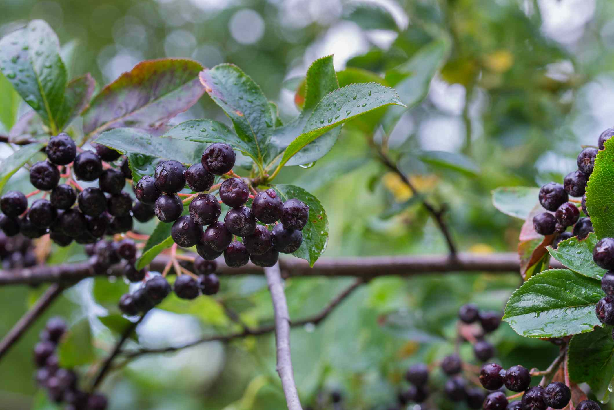 Black chokeberry with berries