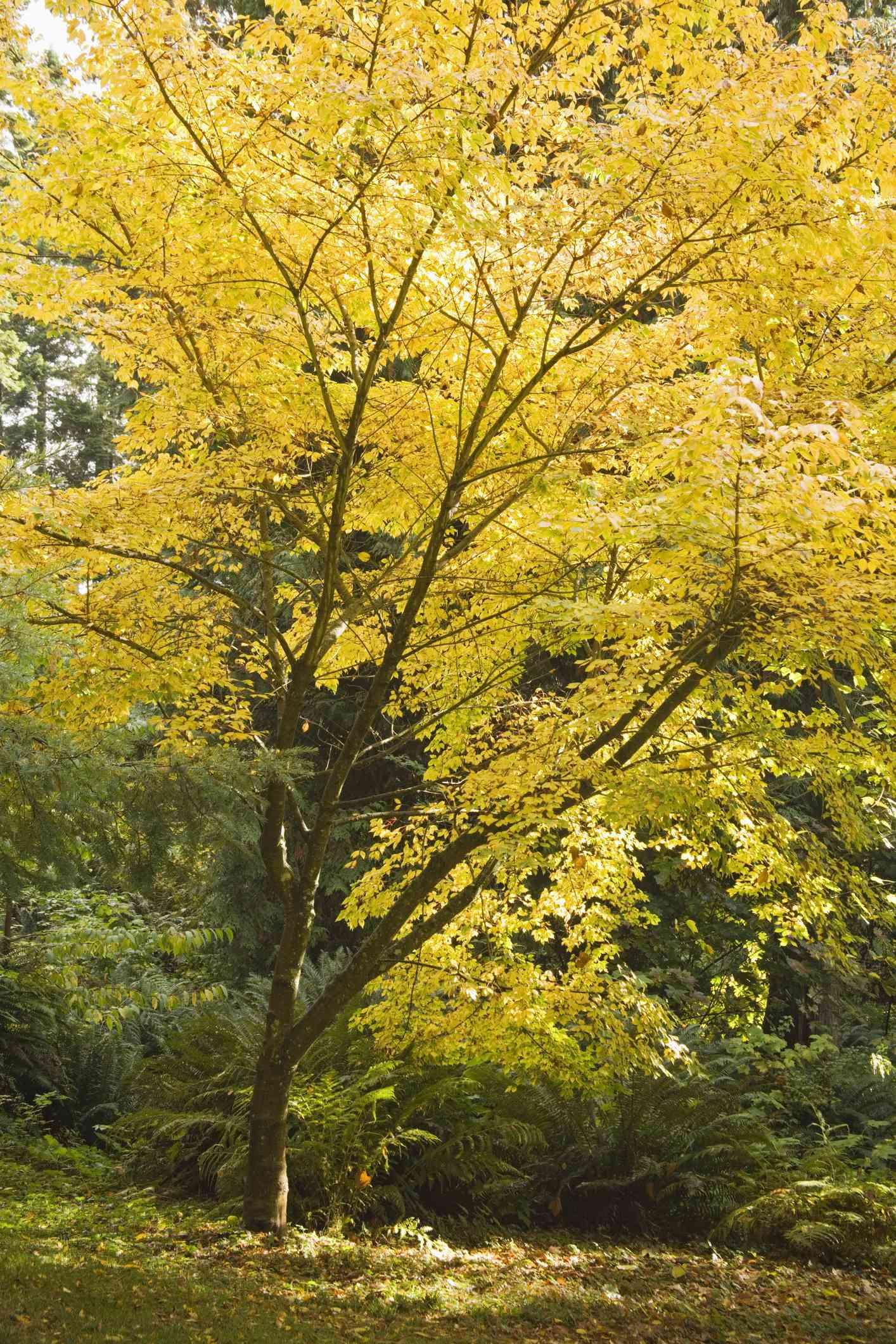 Vine leaf maple