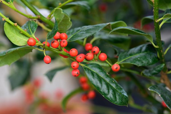 Nellie R. Stevens holly shrub branch with bright red berries