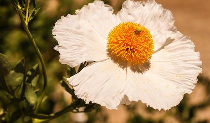 Crinkly white flower petals surround a ball-shaped golden yellow center