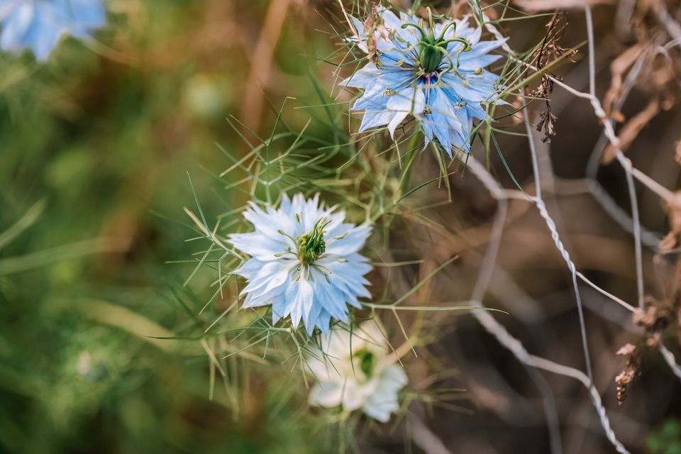 Love in a Mist flowers