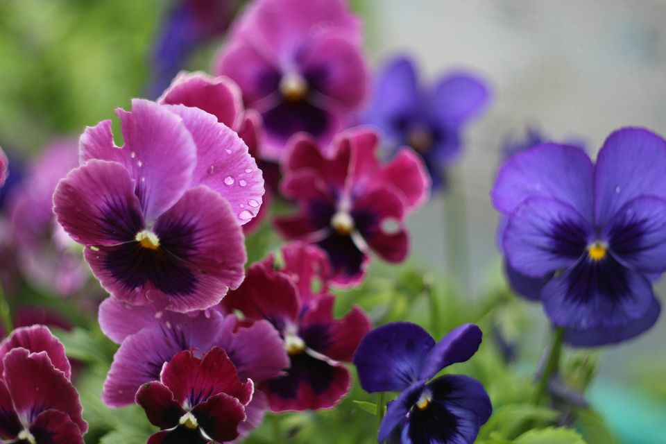 Pansies blooming in a garden