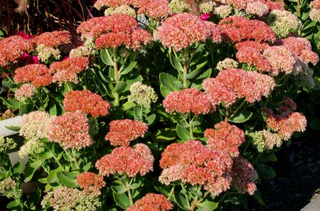 Autumn Joy Sedum In Bloom With Its Flat Topped Cers Of Pink Flowers