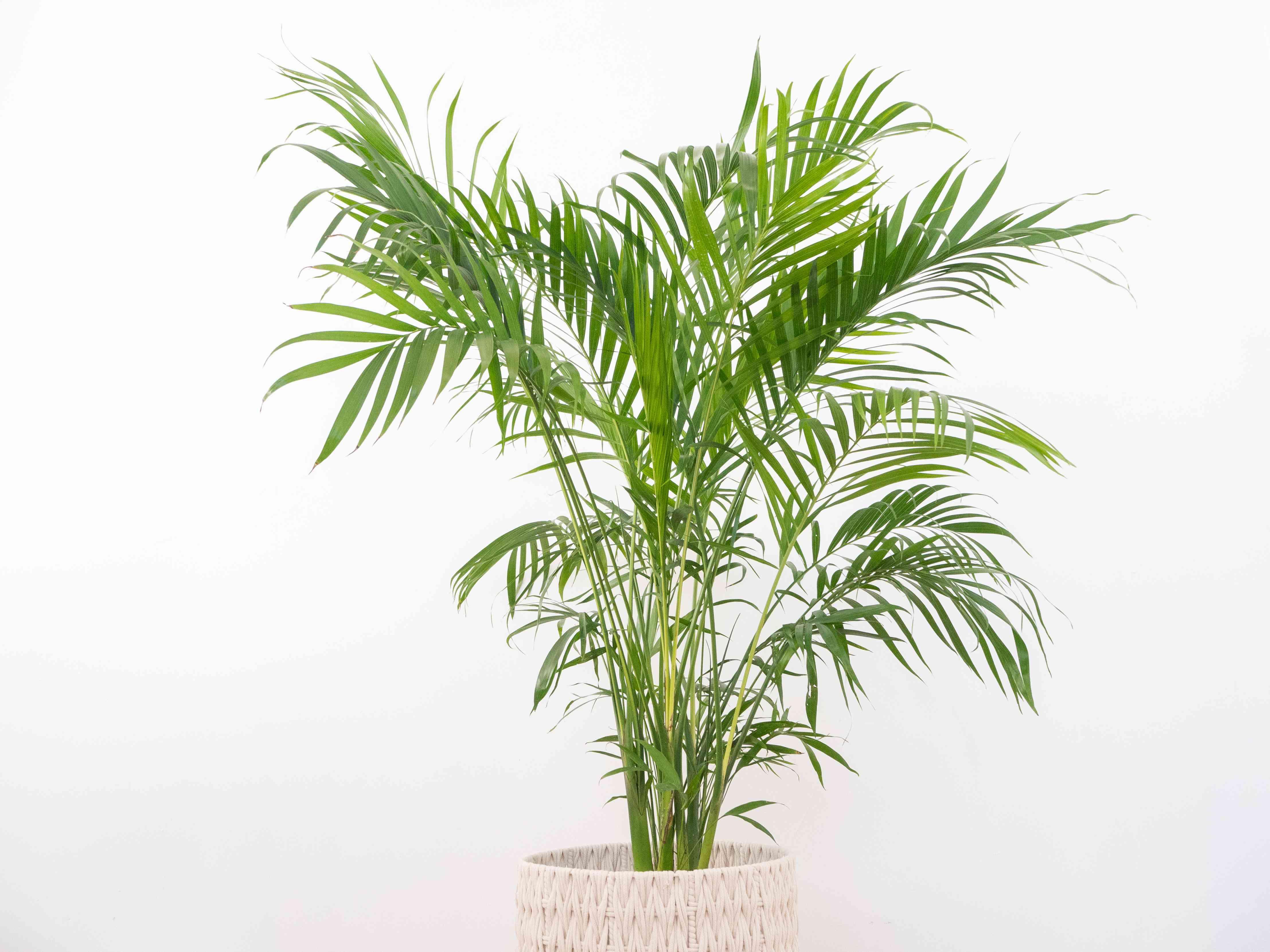 an areca palm