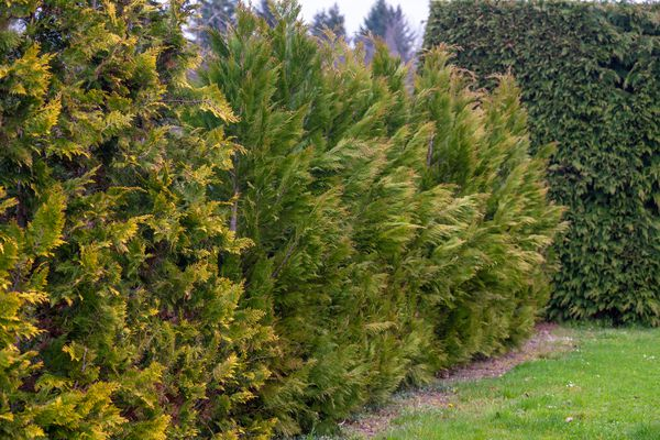 False cypress tree with green and yellow scaly foliage lining a hedge