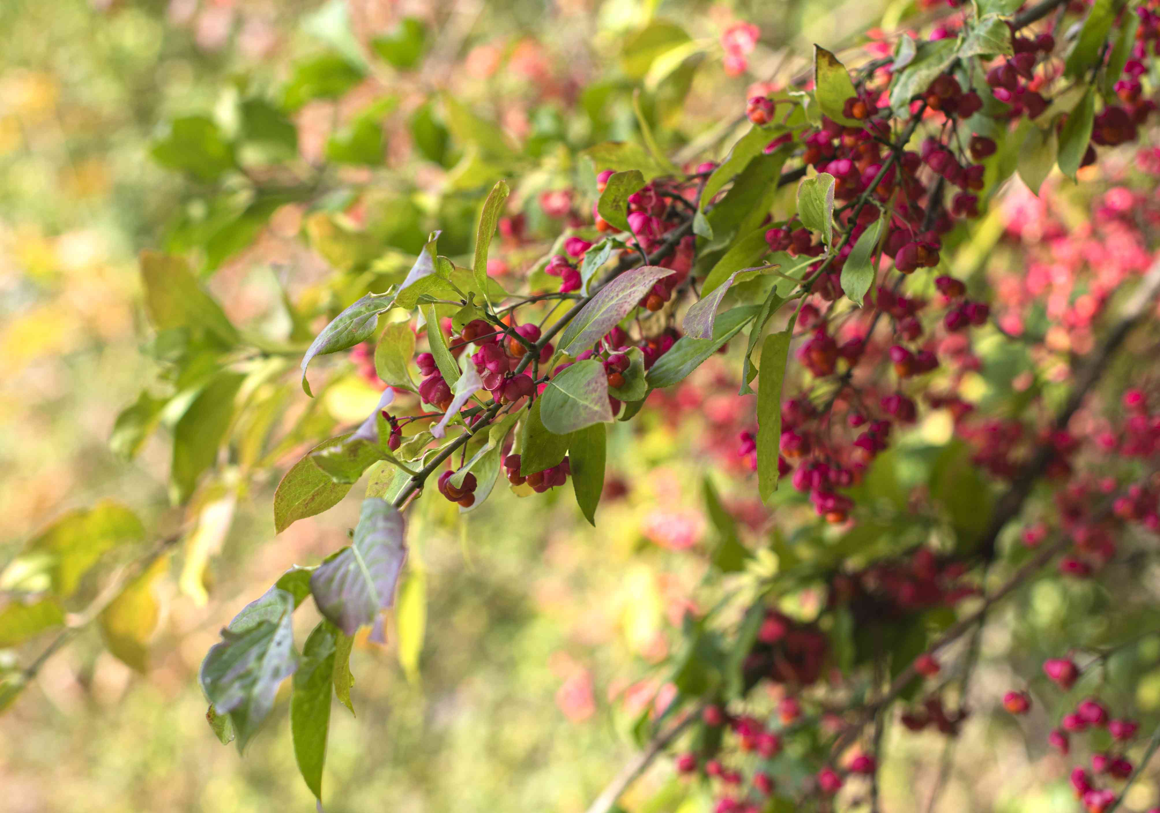European spindle tree branches with fuchsia colored berries