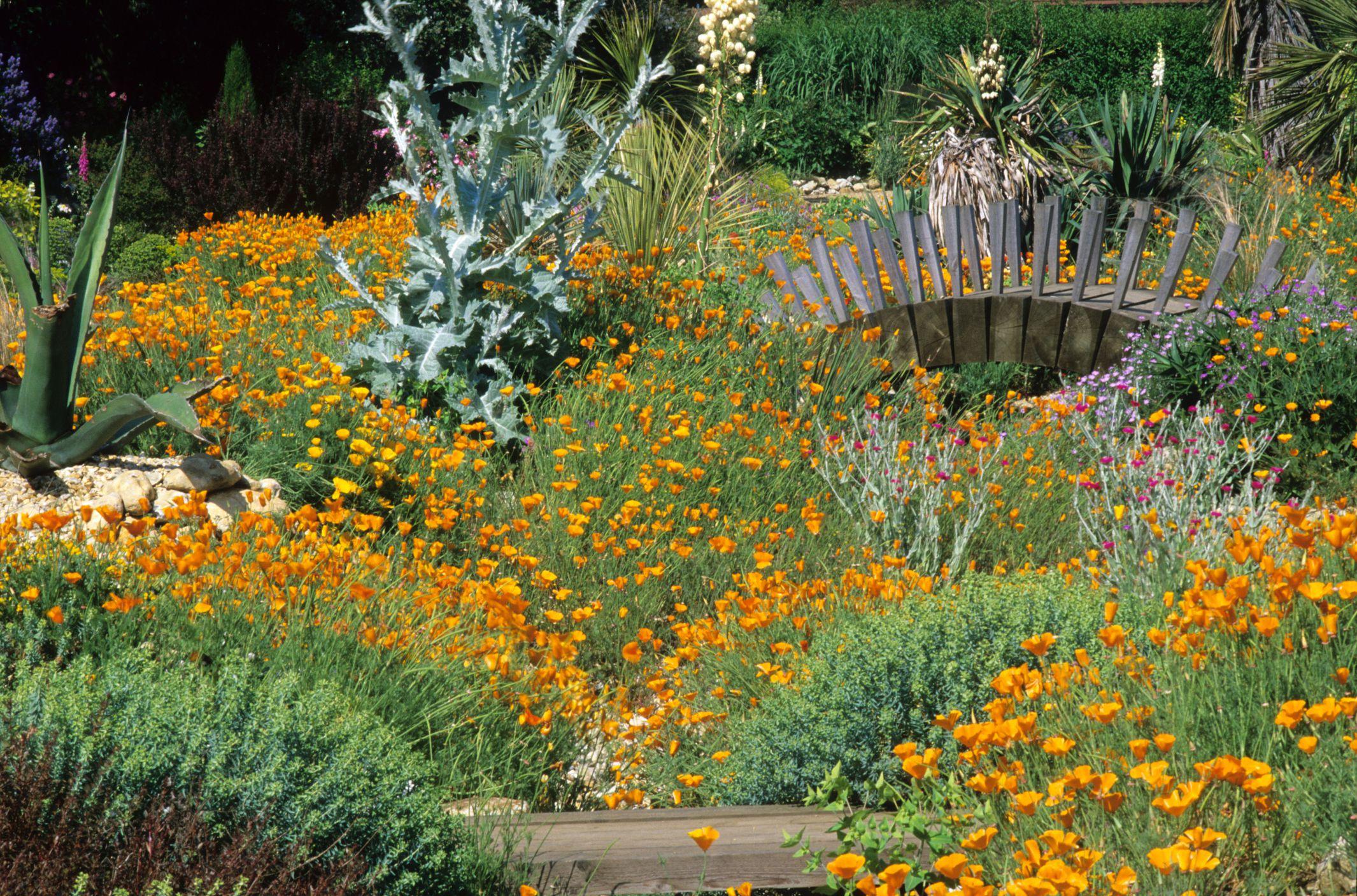 Yellow Poppies (Meconopsis cambrica