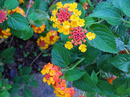 Picture of Lantana