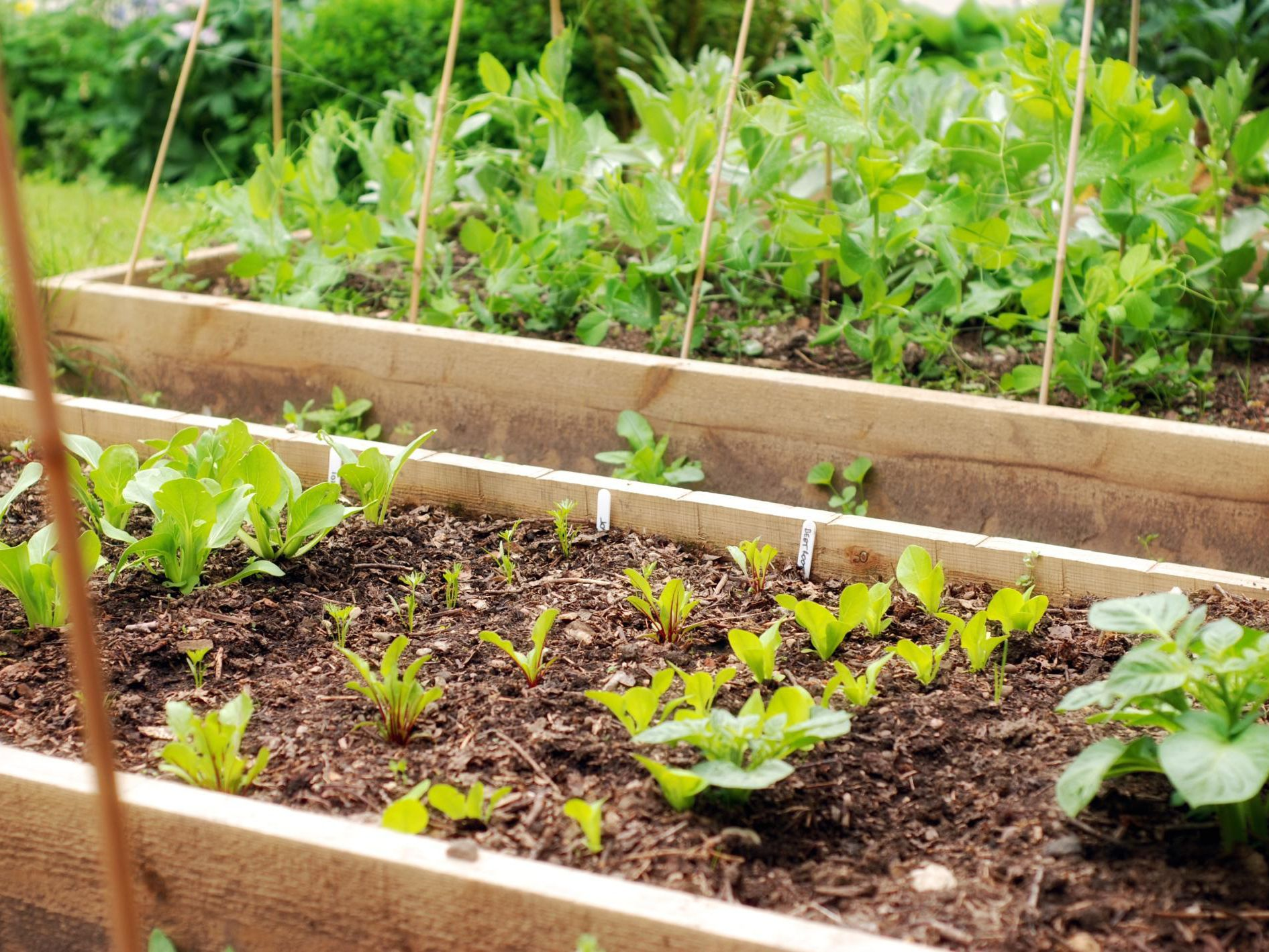 Understanding Companion Plants For Growing Potatoes
