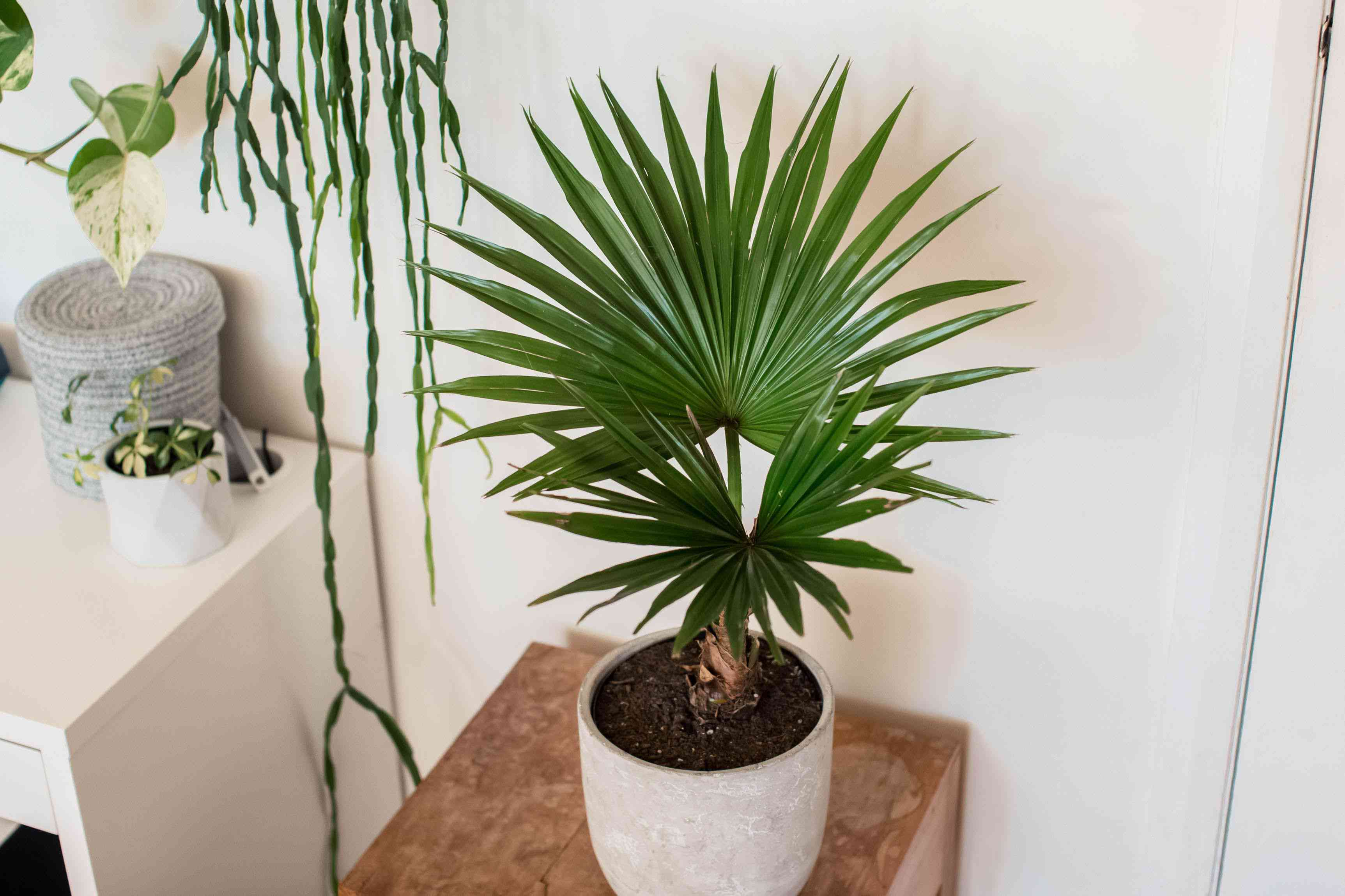 Chinese fan palm with feathery frond leaves in white ceramic pot next to houseplants
