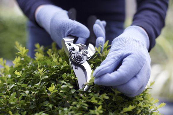 Person using shears to trim potted shrub