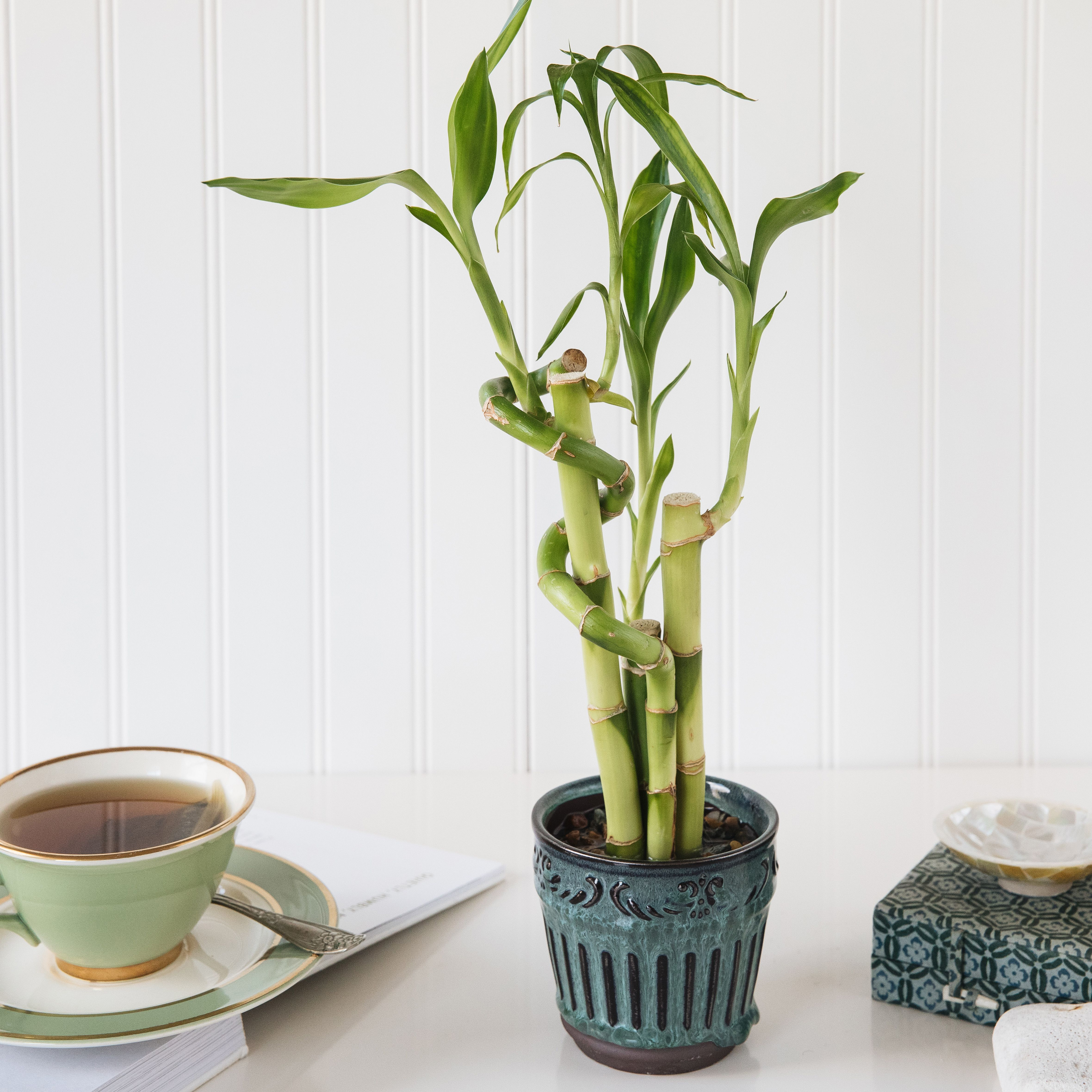 Lucky Bamboo Indoor Plant Care Growing Guide