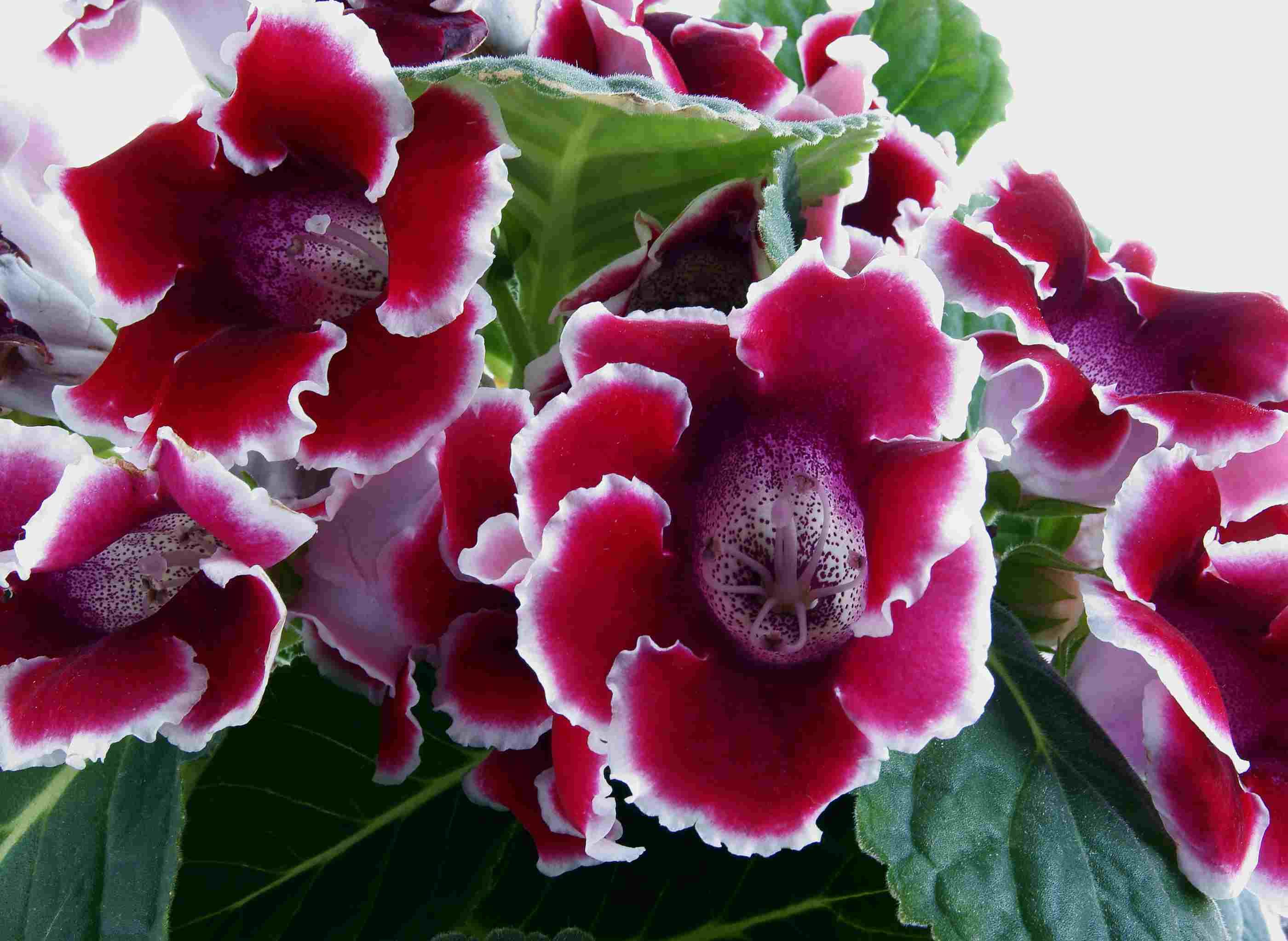 Gloxinia Houseplant