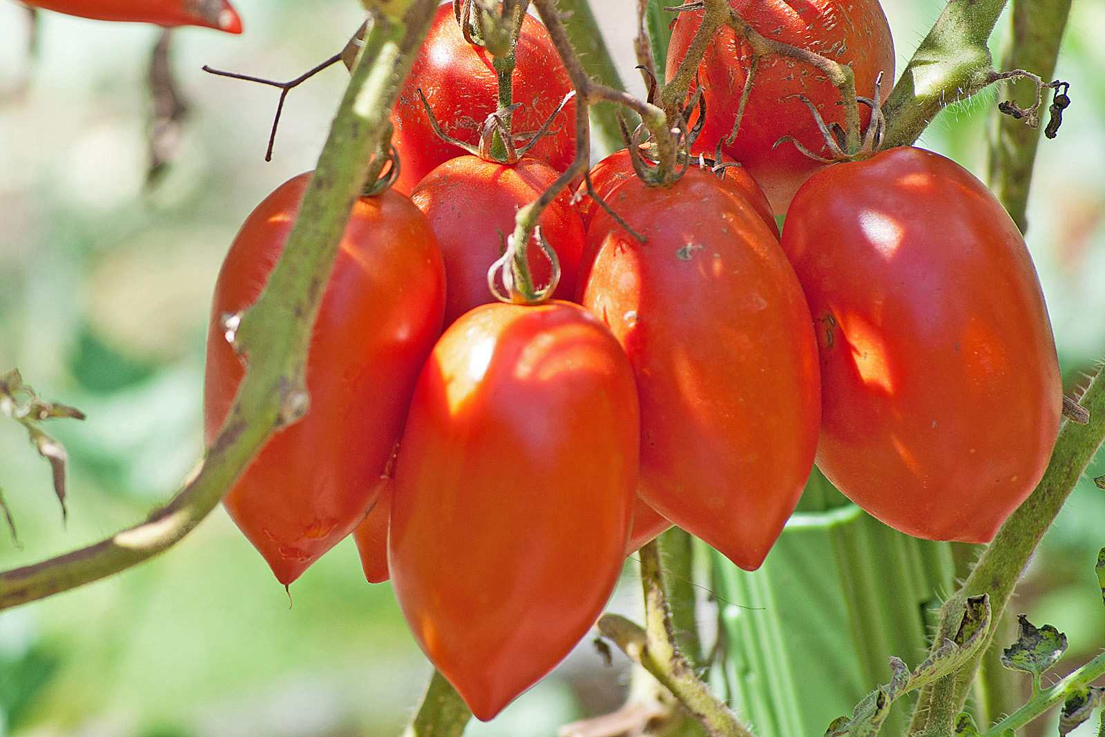 A close-up of Opalka tomatoes