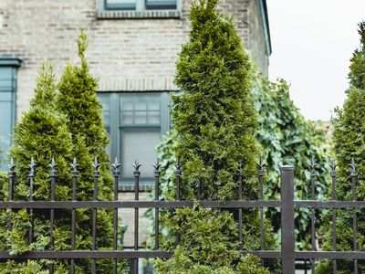 evergreen trees used as privacy screens