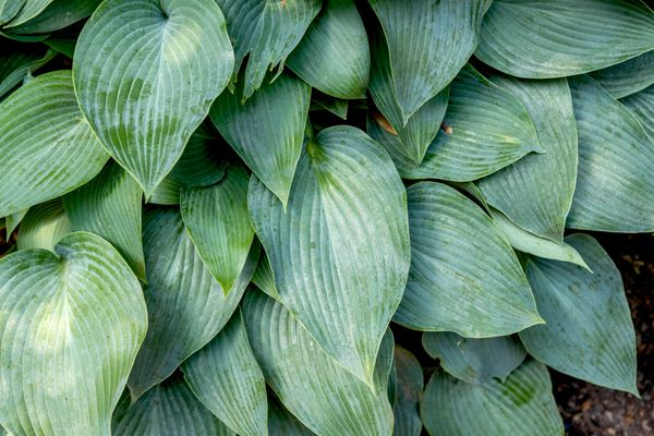 Hosta 'Halcyon' plant with blue-green, spear-shaped textured leaves closeup