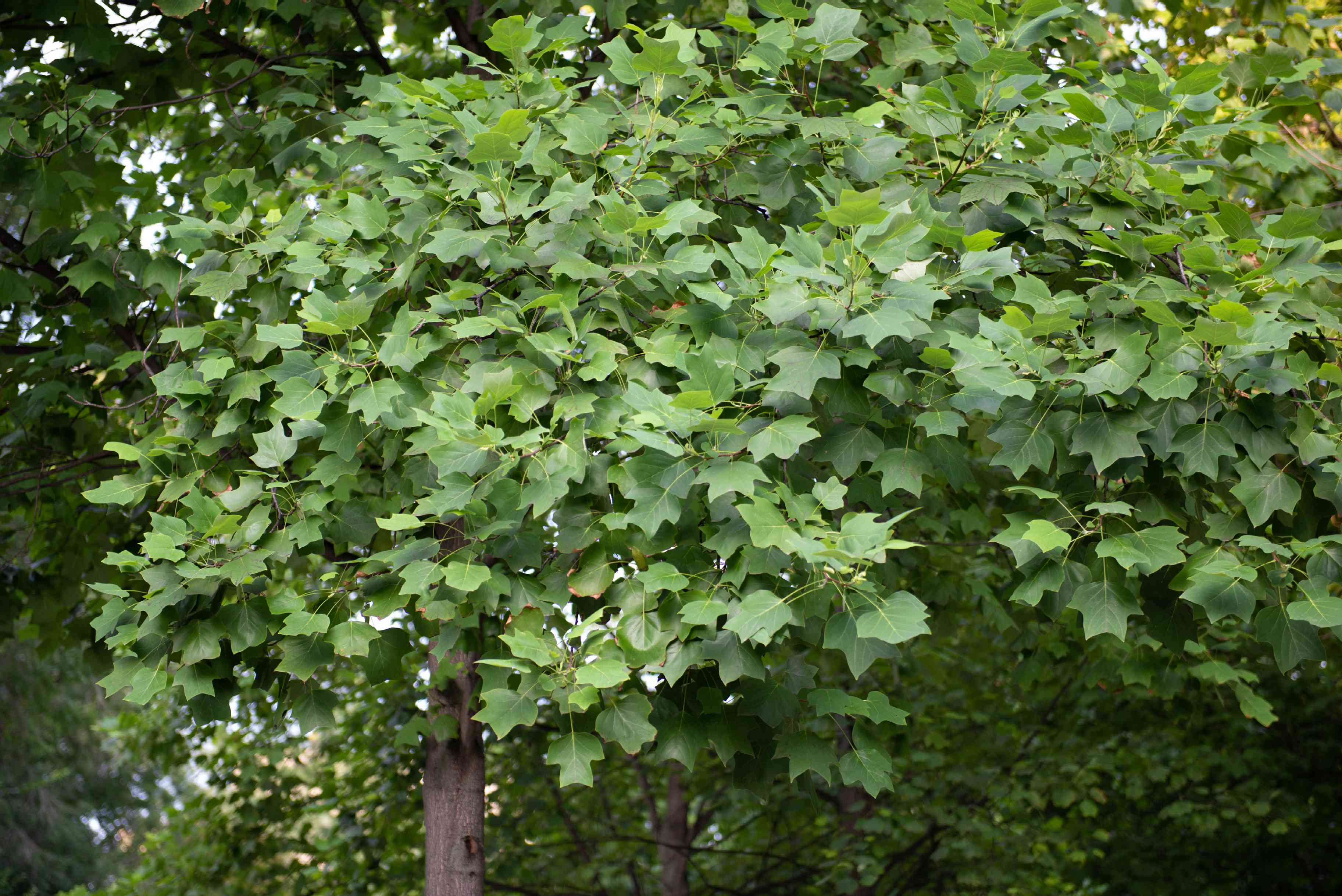 Tulip trees with odd-shaped leaf forms hanging from branches