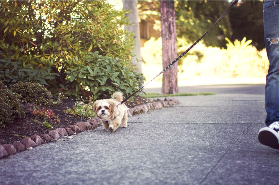 Small dog walking on leash next to landscaped area