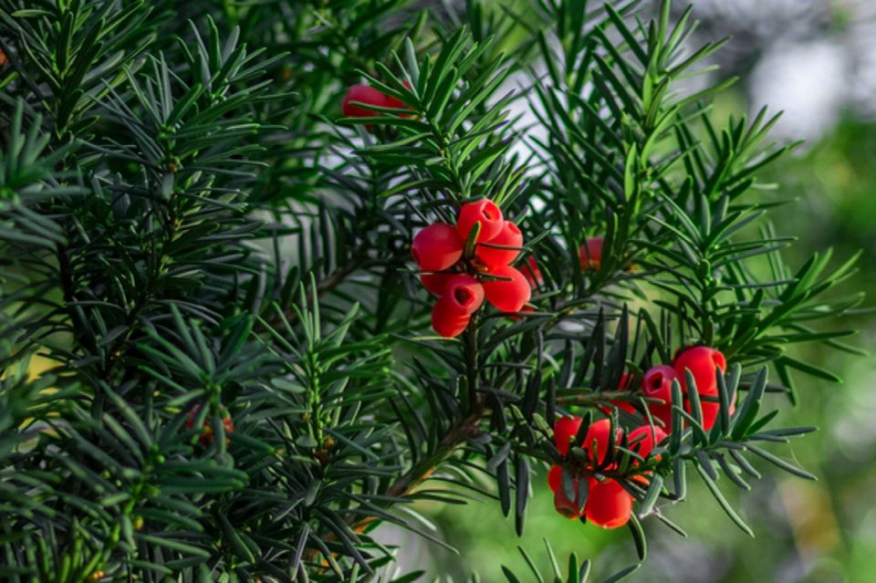 Yew bush with spiky leaves and poisonous bright red seeds