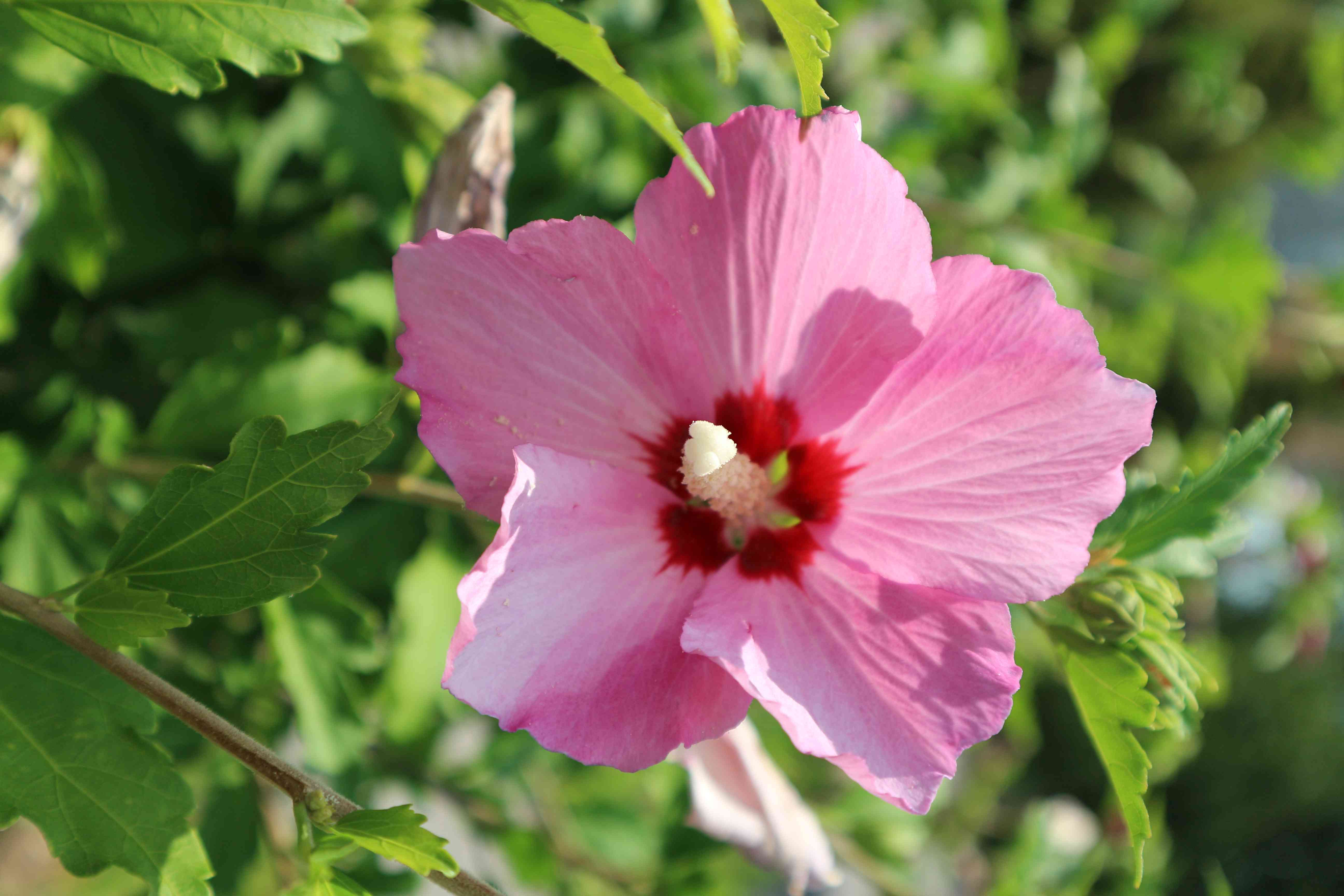 Syrian ketmia pink with red center rose of Sharon 'Hamabo' flower on a sunny day.
