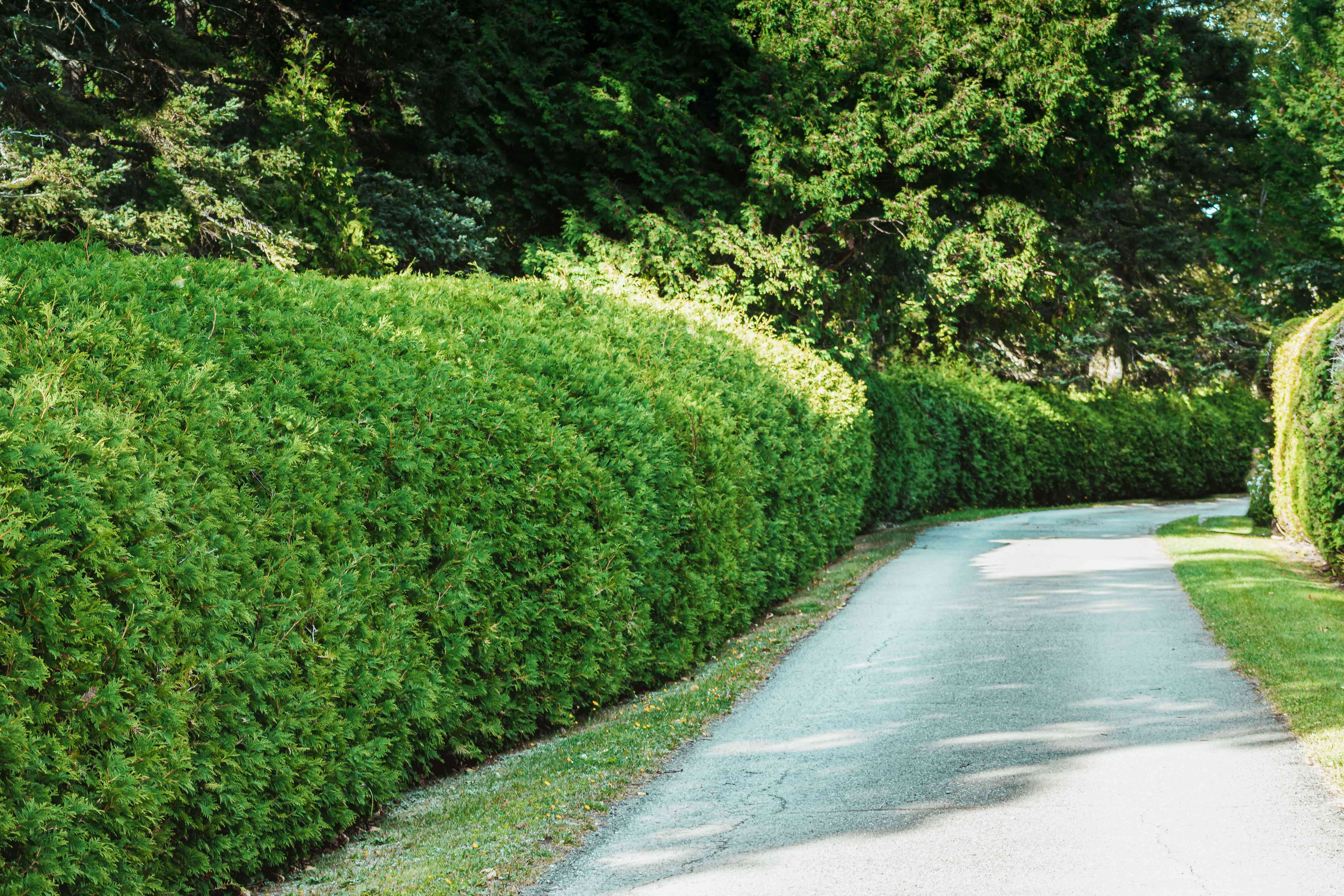 Trimmed hedges next to cement driveway