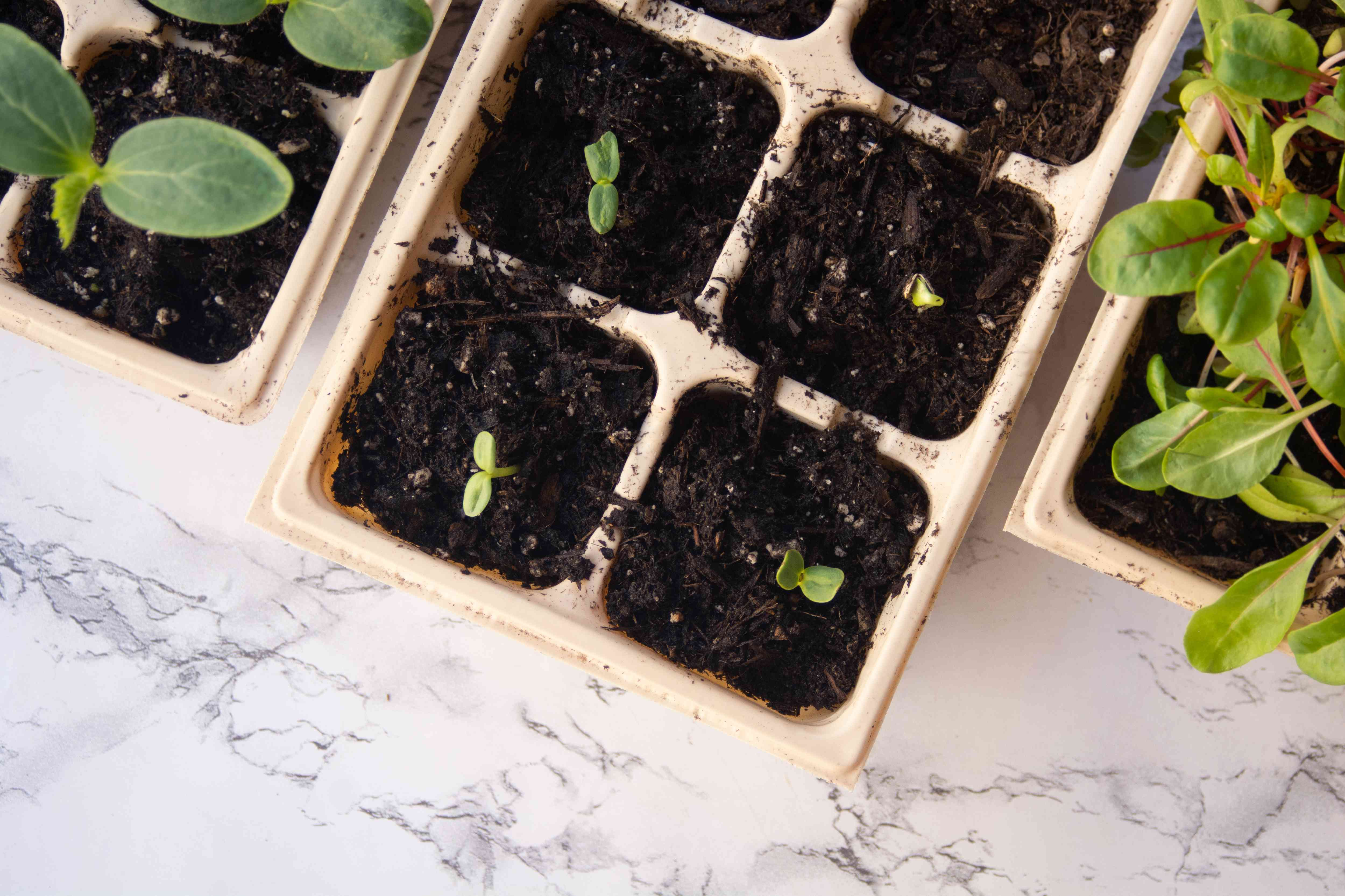 Fertilizer added to sprouts in seeding trays for growth