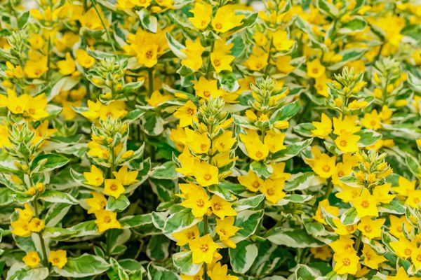 Variegated lysimachia plant stems with yellow star-like flowers