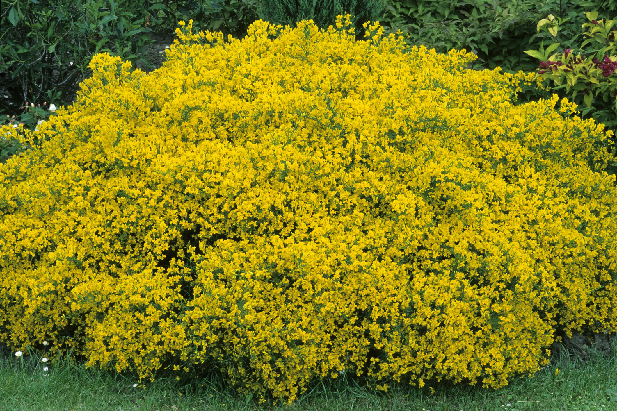 Genista lydia shrub in bloom with yellow flowers