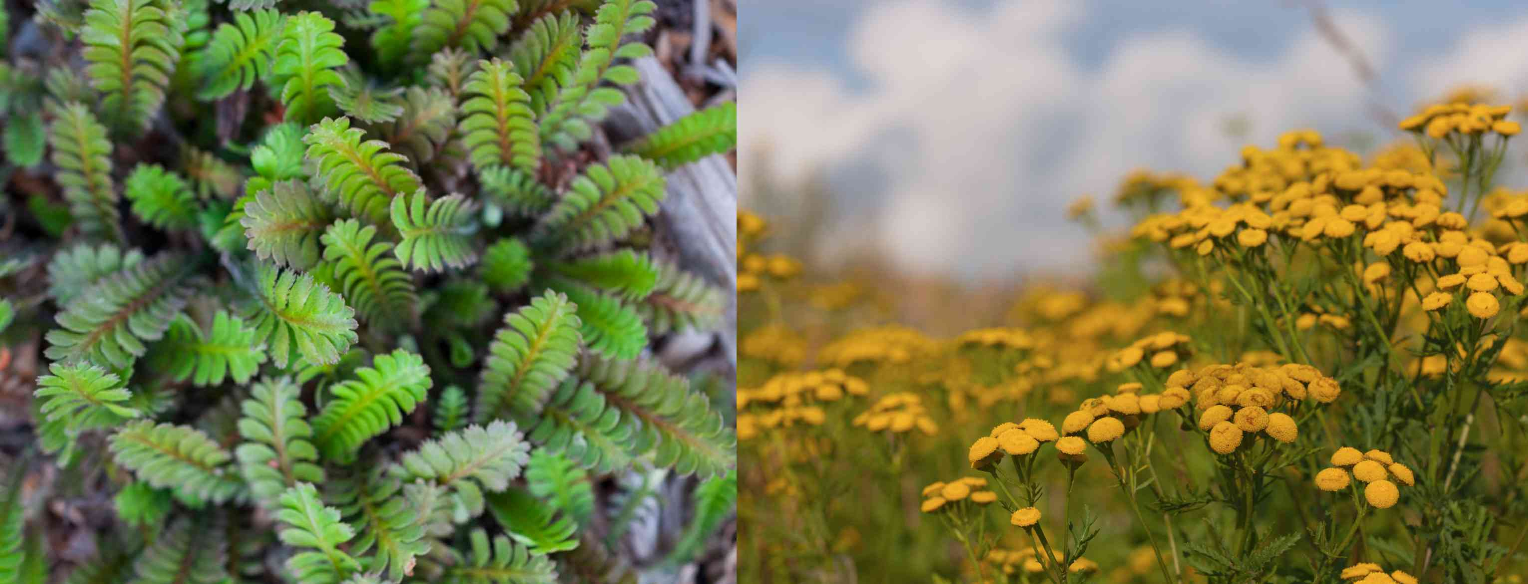 Brass Buttons vs Tansy Flowers
