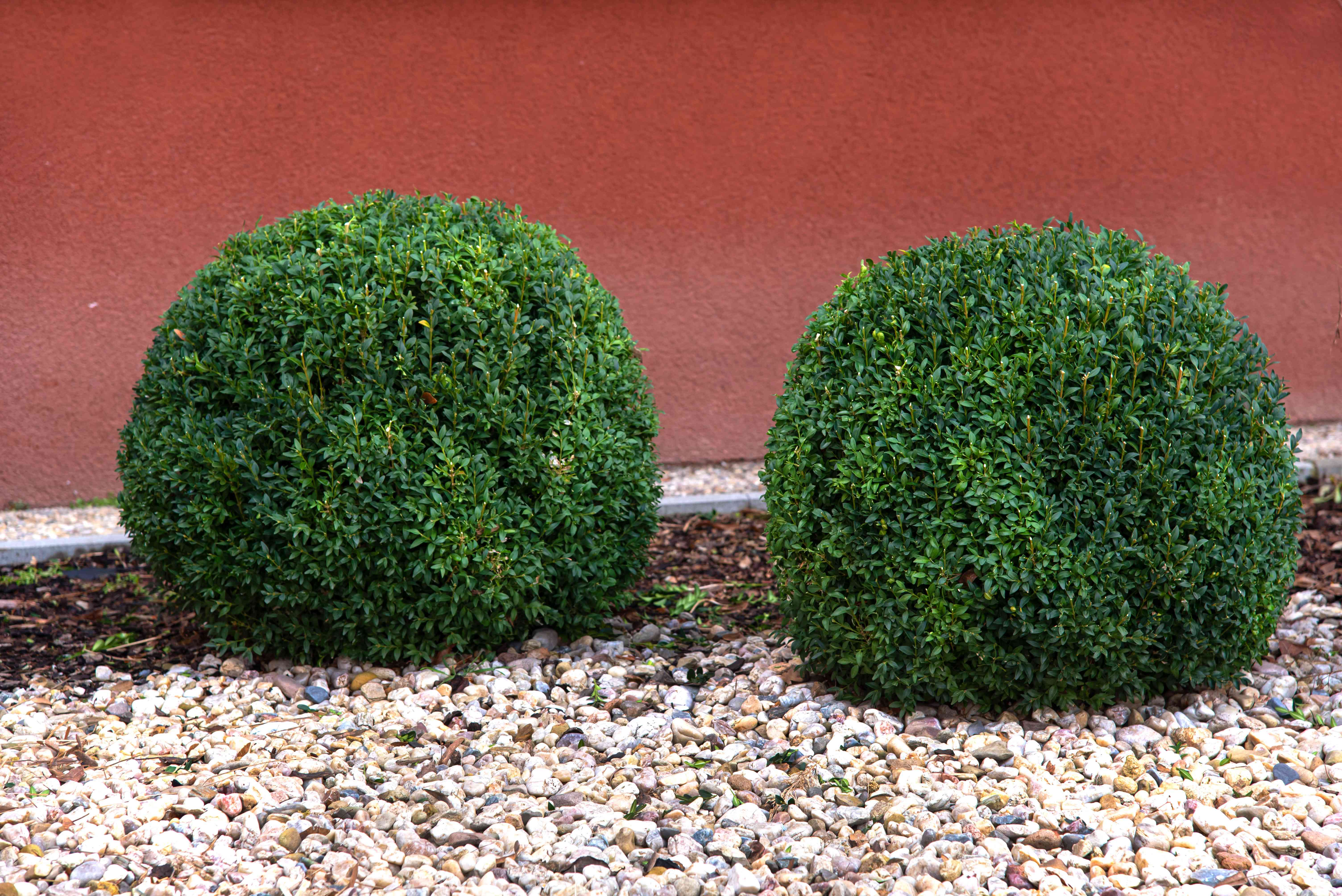 Two boxwood shrubs cut as low ground orbs on pebbled ground