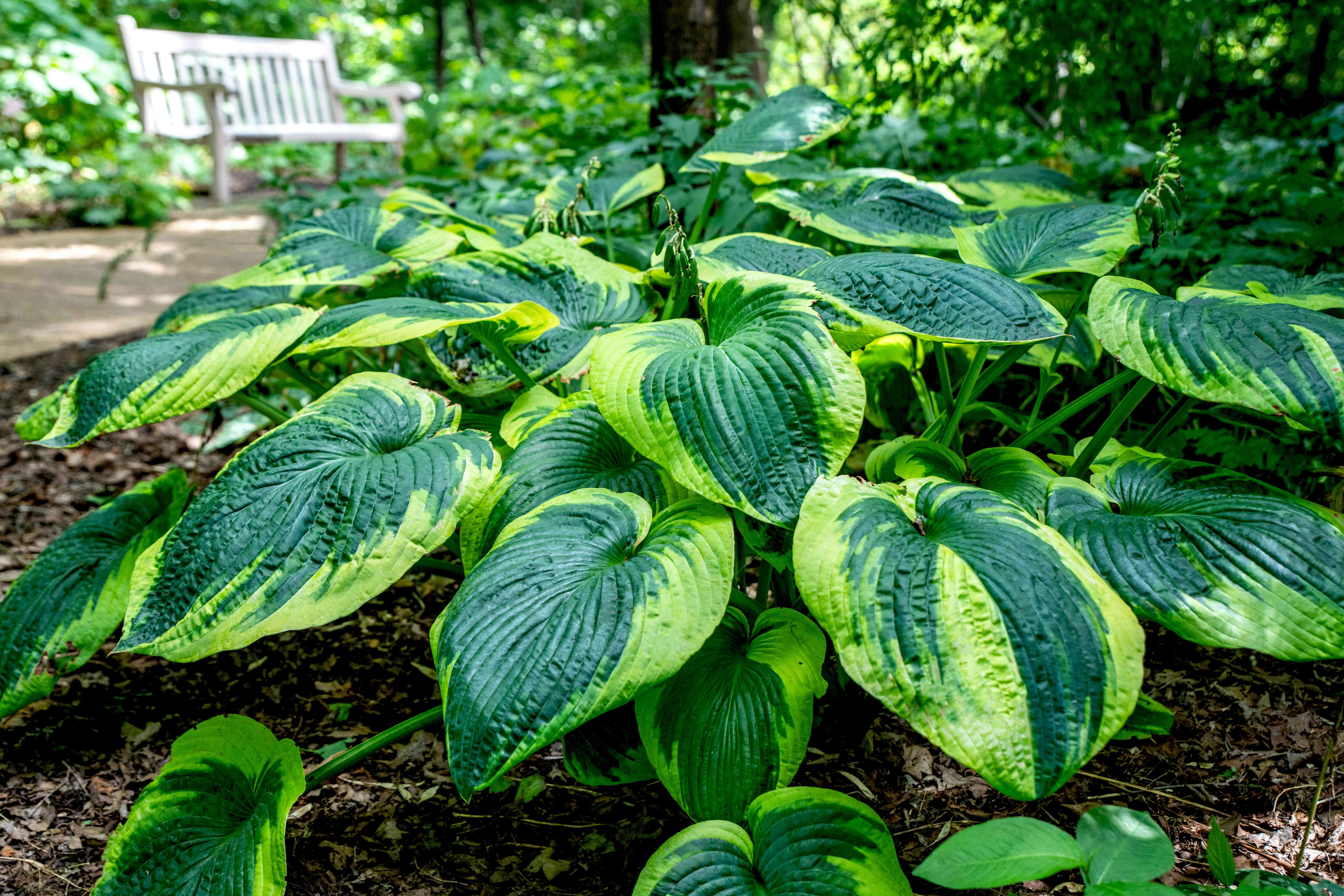 Frances Williams hosta plants clumped together near pathway with large variegated green leaves